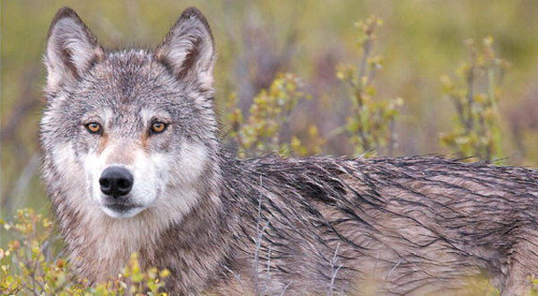 Pregnant Alpha Wolf Lured From Denali National Park With Dead Horse